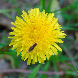 Dandy Bug by Philip Molyneux - Flowers Single Flower (  )