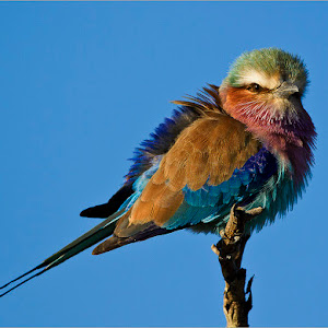 Lilac-breated Roller.jpg