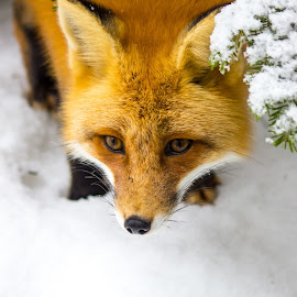 FOX IN THE PARK by Peter Degrace - Animals Other ( kit's, fox, fox den, foxsy, algonquin park )