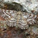 Geometer moth \ Пяденица жёлто-бурая гладконогая