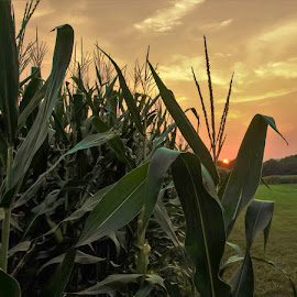 Sultry Summer Evening  by Jim Dawson - Novices Only Landscapes ( #cornfield #crop #summer #sunset #weather #landscape )