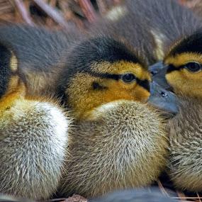 Nestled by Joanne Burke - Animals Birds ( ducklings, macro, wildlife, baby animals, birds )
