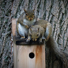 Squirrel Pair by Erika  Kiley - Novices Only Wildlife ( tree, pair, birdhouse, bark, squirrel, brothers )