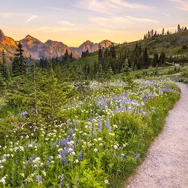 Wildflower Path by Judi Kubes - Landscapes Prairies, Meadows & Fields ( wildflowers, mountains, mt rainier, tatoosh, sunset, trail, meadow, path, glow, hike,  )