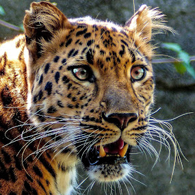 Bright Eyes by Dave Walters - Animals Lions, Tigers & Big Cats ( cats, animals, nature, zoo, lumix fz200, leopard,  )