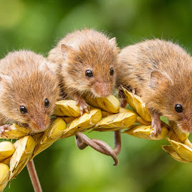 3 blind mice by Garry Chisholm - Animals Other Mammals ( mice, garry chisholm, macro, harvestmouse, nature, rodent )