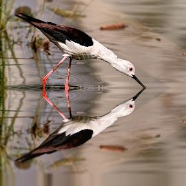 Echasse et son double by Gérard CHATENET - Animals Birds (  )