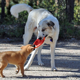 You sure are big by Marko Ginsberg - Animals - Dogs Playing ( puppy, playing, dog, frisbee )
