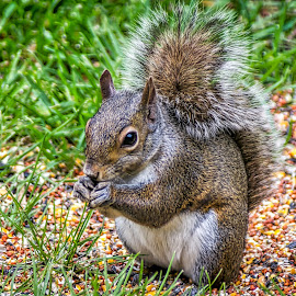 Munching Squirrel by Pat Lasley - Animals Other ( rodent, tail, squirrel, mammal, animal )