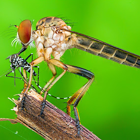 Robberfly With Prey by Tan Tc - Animals Insects & Spiders ( nature, fly, macro photography, insects, close up,  )