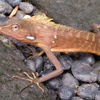 Maned Forest Lizard