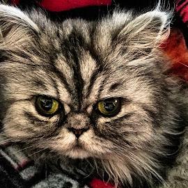 by Rhonda Rossi - Animals - Cats Portraits