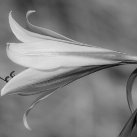 B&W Flower by Eleanor Hattingh - Black & White Flowers & Plants ( wild, nature, black and white, beauty, flower,  )