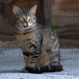 by Anita Frazer - Animals - Cats Portraits ( cat, portrait, animal )