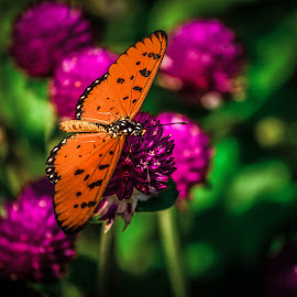 by Niketa Vora - Animals Insects & Spiders ( butterfly, nature, colorful, flower )