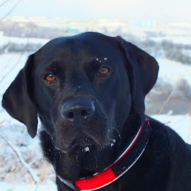 suggs today in the snow by Darren Lumley - Animals - Dogs Portraits