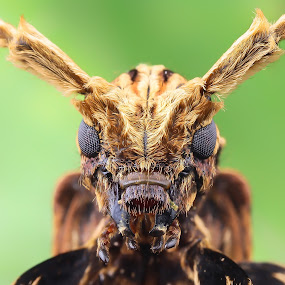 Little Monster by Tan Tc - Animals Insects & Spiders ( extreme macro, macro photography, insects, close up, beetle )