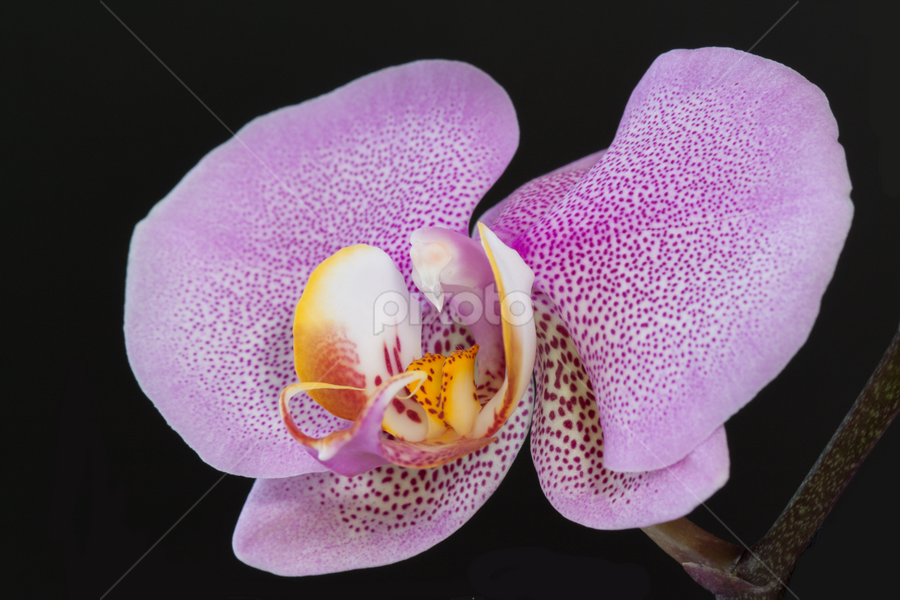 Pink Dotted Phalaenopsis by Anita  Christine - Nature Up Close Flowers - 2011-2013 ( plant, nature, orchid, pink, phalaenopsis, dot,  )