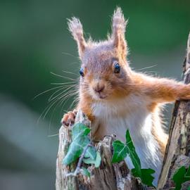 Red squirrel by Michael  Conrad - Animals Other Mammals ( tree, red squirrel, wildlife, forest, woodland, ivy, mammal, animal, eyes,  )