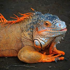 Iguana by Dwi Prasetyo Hariyanto - Animals Reptiles