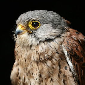 Kestrel Resting by Helen Matten - Animals Birds ( resting, side, kestrel, profile,  )