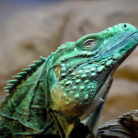 Iguana II by Shawn Thomas - Animals Reptiles