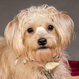 by Myra Brizendine Wilson - Animals - Dogs Portraits ( greater charlotte spca foster, canine, dogs, pet, pets, foster henrietta, gcspca, dog, henrietta, foster dog henrietta, greater charlotte spca )