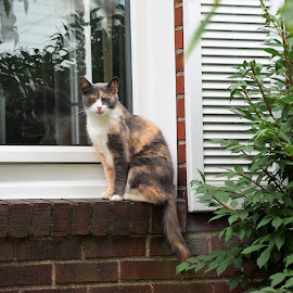 Posing from window seat by Sarah Maria Bagay - Animals - Cats Portraits