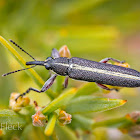 Long-nosed Weevil