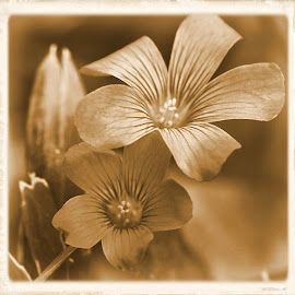 Old Times by Marilyn Kircus - Digital Art Things ( wildflowers, sepia, florwers, special effects, photo art )