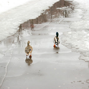 ducks by Vero Vero - Animals Birds ( bird, russia, park, duck, wildlife, couple, moscoe, walk )