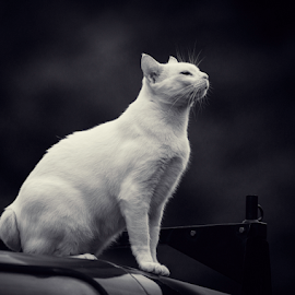 on top of the world by Annette Flottwell - Black & White Animals ( creamy, tomcat, landrover, cat, blanco, matou, gordito,  )