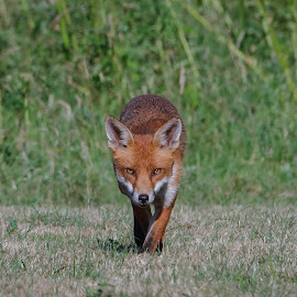 Fox on the Prowl by Tim Clifton - Animals Other Mammals ( mammals, mammal, nature, nature up close, wild, fox, wildlife )