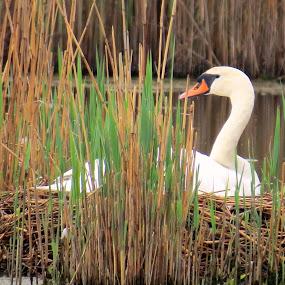 Mute Swan on Nest by Erika  Kiley - Novices Only Wildlife ( nest, marsh, swan, spring, mom,  )