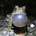Fowler's Toad, male