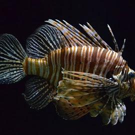 Lionfish by Sathish Kumar S - Animals Fish ( animals, fish, lionfish )