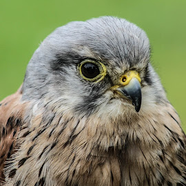 Petite Kestrel by Garry Chisholm - Animals Birds ( bird, garry chisholm, nature, wildlife, prey, raptor, kestrel )