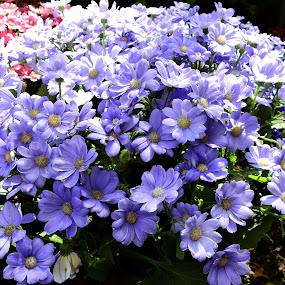 Painted Daisy by Carol Leynard - Flowers Flower Gardens ( blue, perennial, painted, plant, daisy, flower )