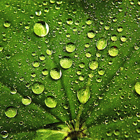 A Thousand Droplets  by Kelly Williams - Nature Up Close Leaves & Grasses ( nature, green, on, leaf, rain, close, droplets, up )