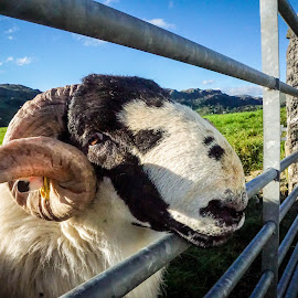 Lakeland Ram by Sue Lascelles - Animals Other Mammals