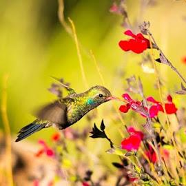 broad bill hummer by Todd Wood - Animals Birds