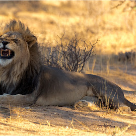 Lions domain by Brendon Muller - Animals Lions, Tigers & Big Cats ( big five, lion, photosbybrendon, black mained lion, wildlife, africa, kgalagadi )