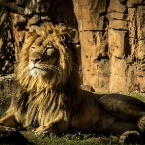 Pride by April Sadler - Animals Lions, Tigers & Big Cats ( #lion #beauty #pride #big #zoo,  )