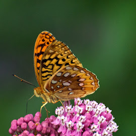 Great Spangled Fritillary I by Judy Florio - Animals Insects & Spiders ( butterfly, macro, fritillary, summer, july, flowers, garden )