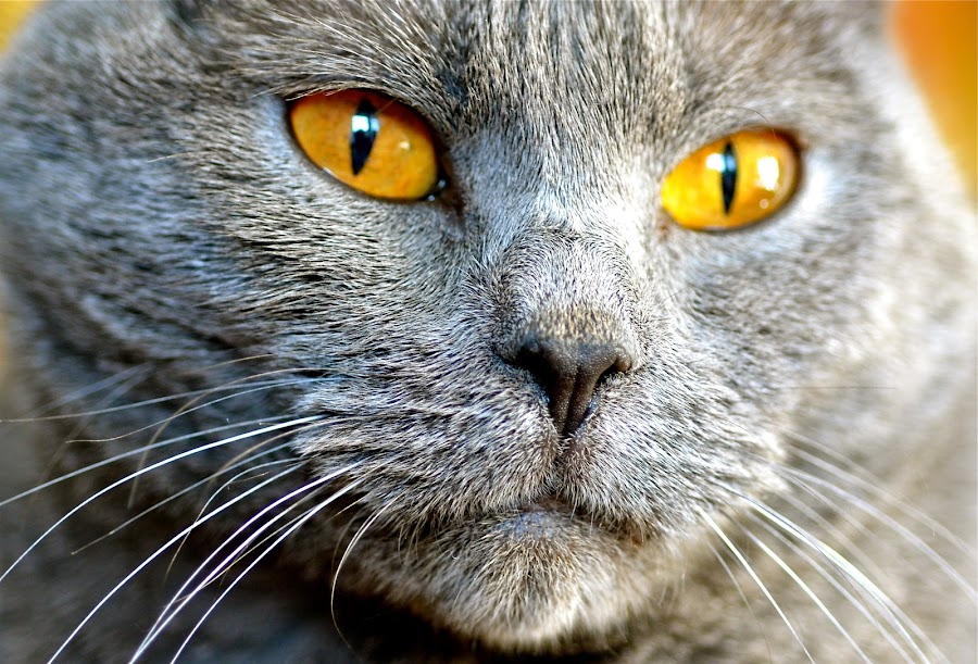 Cheyenne de l'Onde Bleue* by Serge Ostrogradsky - Animals - Cats Portraits ( chartreux )