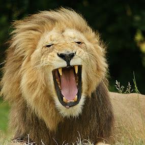 Yawn part2 by Charmane Baleiza - Animals Other Mammals