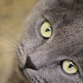 Spicolli by Rusty Jhorn - Animals - Cats Portraits ( russian blue, cat, green, grey, yellow,  )