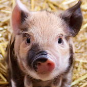 App pink pig wallpapers APK for Kindle