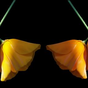 Poppy Duo by Rachel Santellano - Nature Up Close Flowers - 2011-2013 ( orange, california poppy, poppy, yellow, flowers )