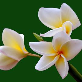 GULONCH by SANGEETA MENA  - Flowers Flower Gardens